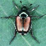 japanese_beetle